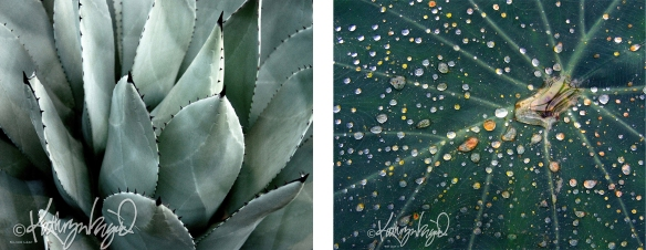 agave and colocasia photos
