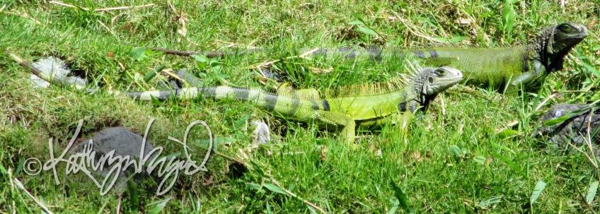 Photo: Dynamic Iguana Duo