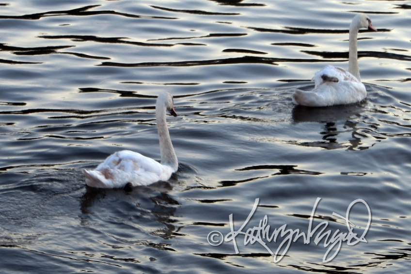 Photo: Swan Like