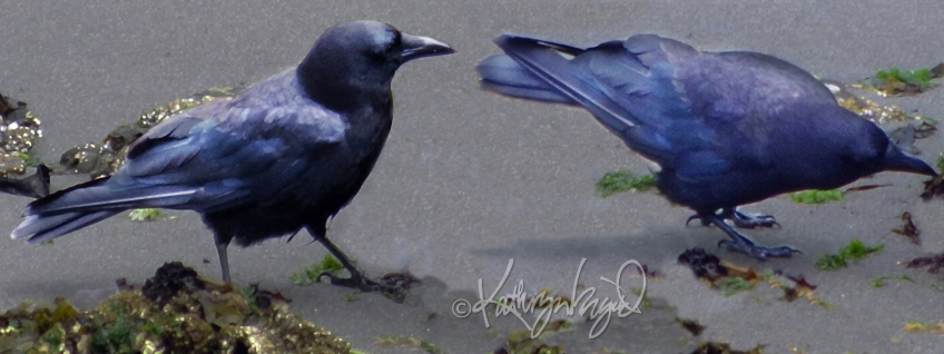 Digital artwork from photographs: Curious Crows