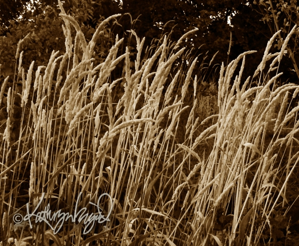 Photo: Wheat Field