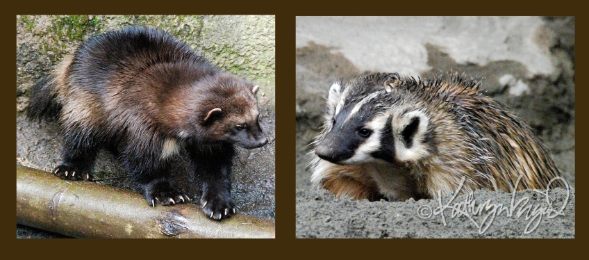 Photo montage: Wolverine & Badger