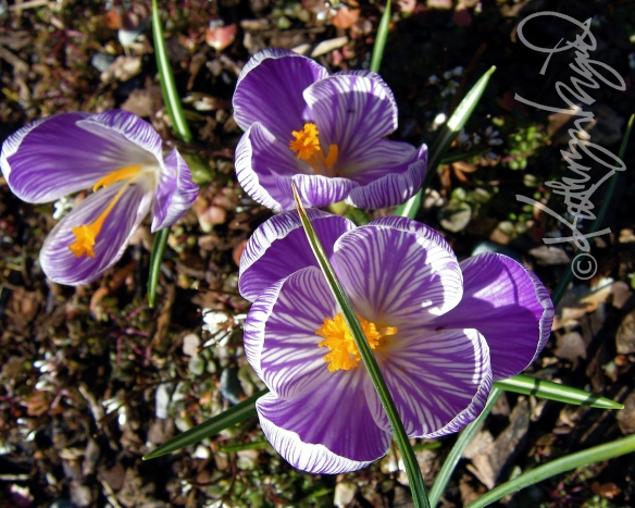 Photo: First Crocus