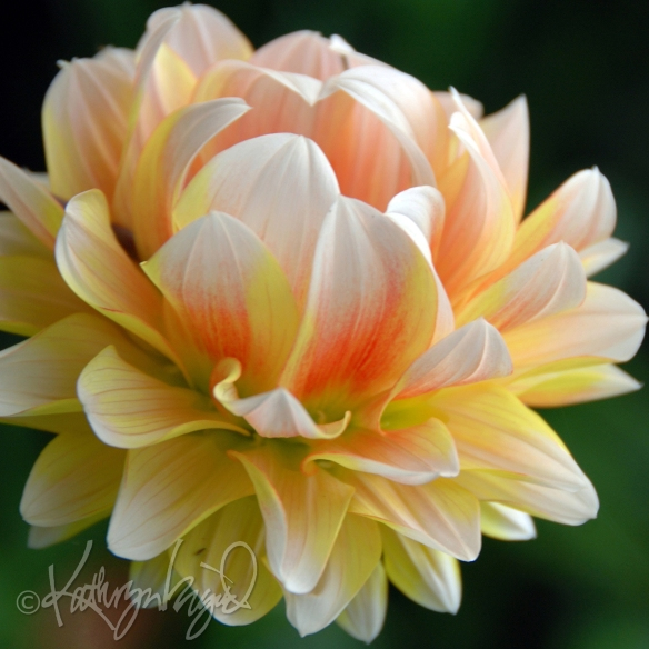 Photo: A Dahlia for Neil