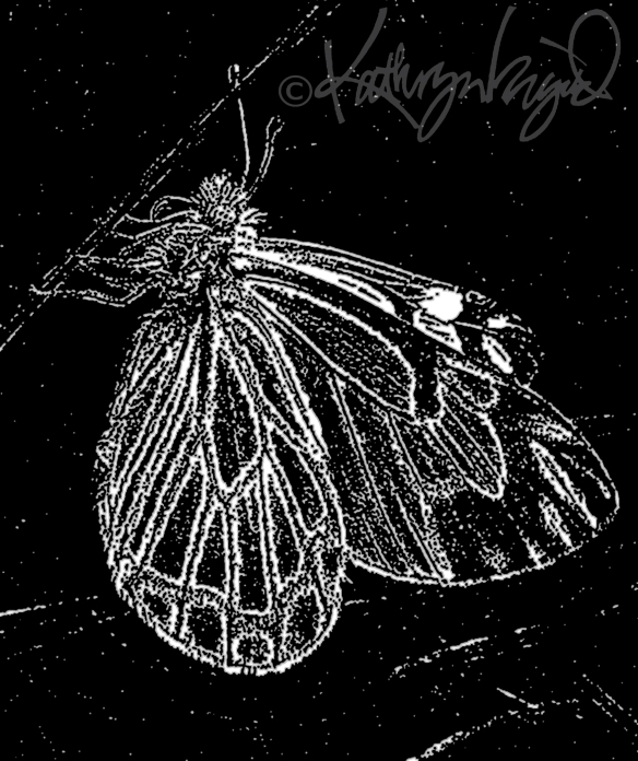 Digital illo from a photo: Black Butterfly