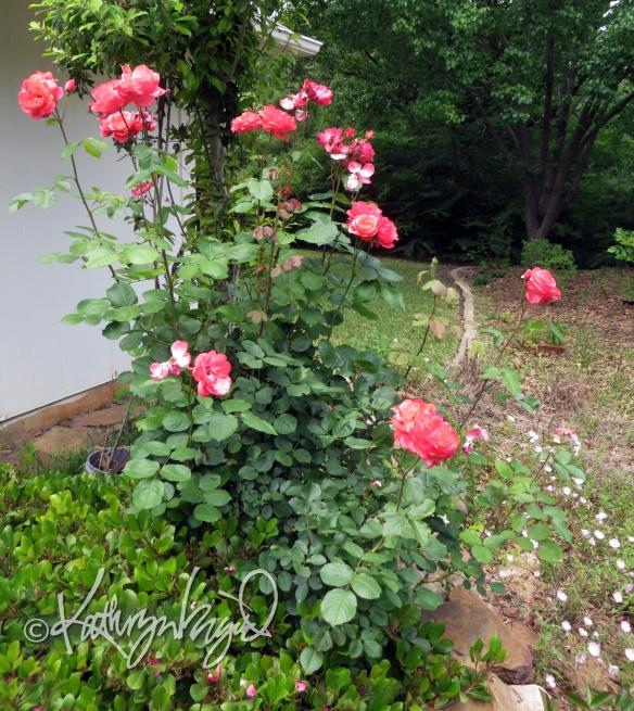 Photo: Rose Explosion