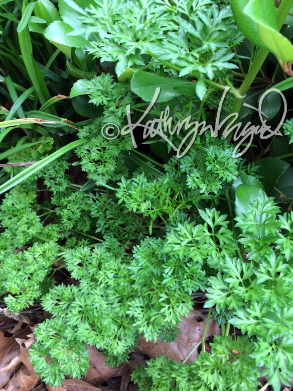Photo: Parsley