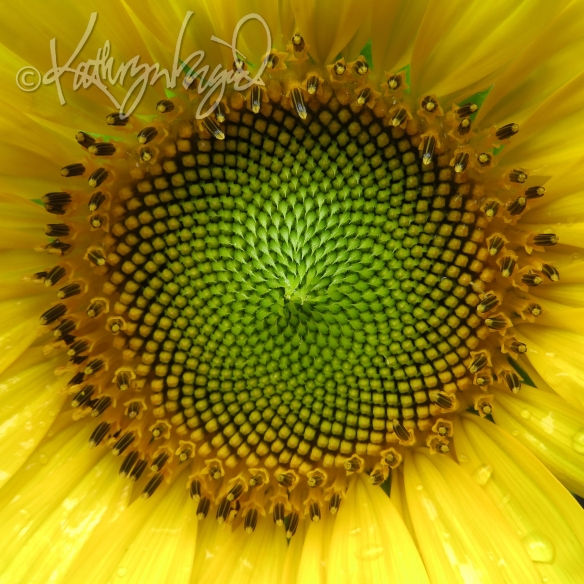 Photo: Heart of a Sunflower