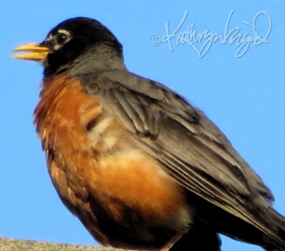 Photo: Robin, Singing