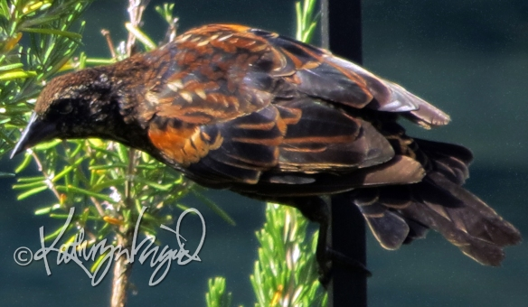 Photo: Red-winged Blackbird 1