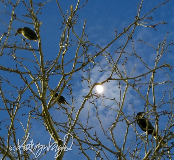 Photo: Grackles by Moonlight